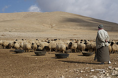 Shepard sheep photo